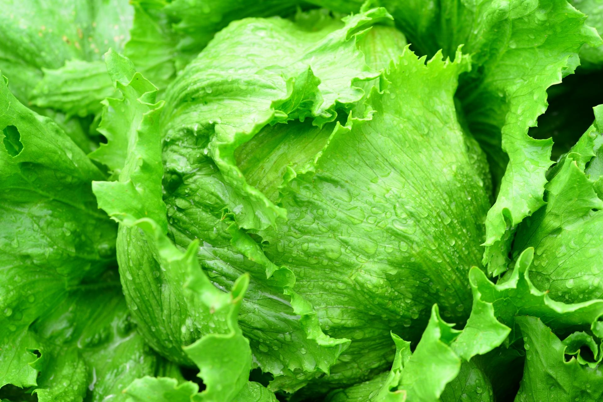 高原野菜 レタス