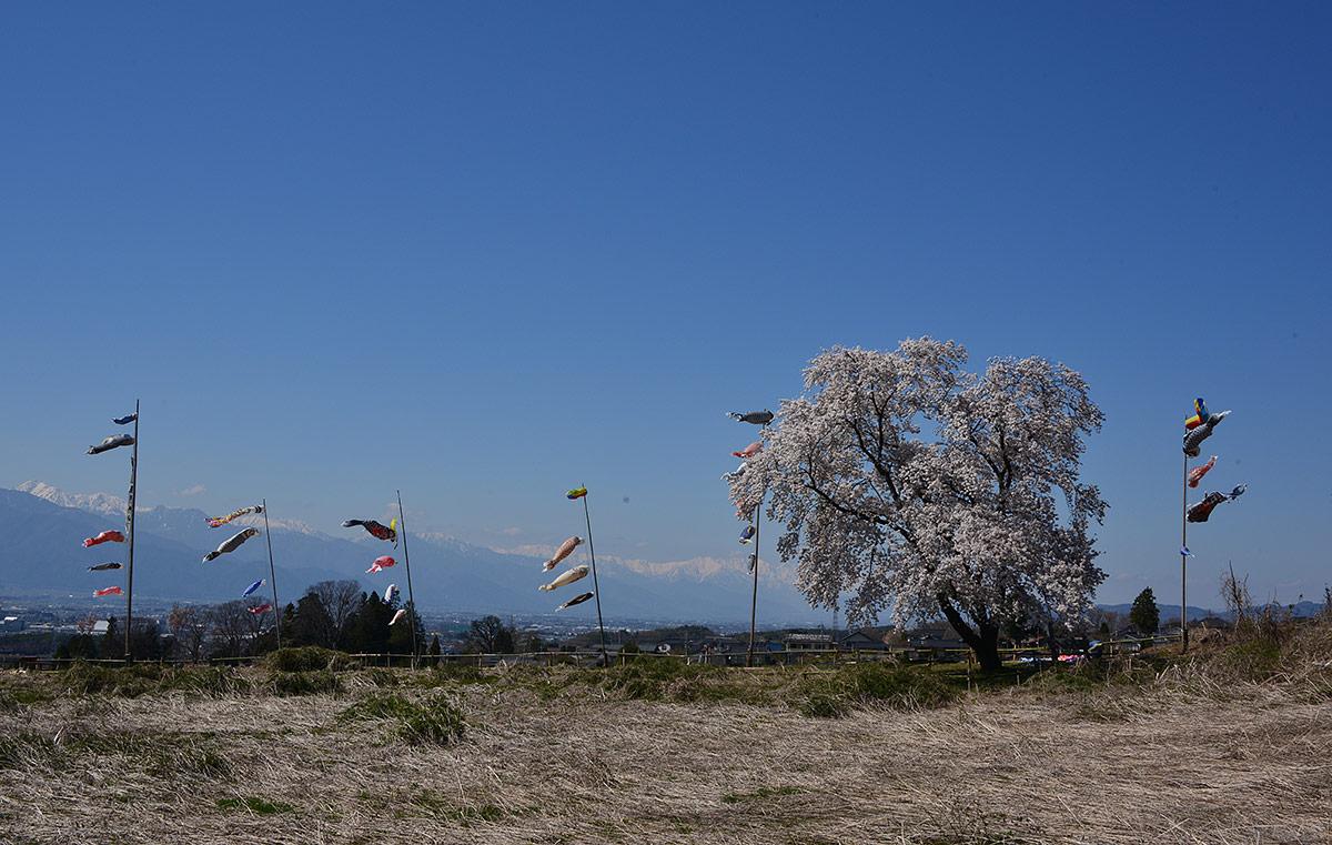 城跡の天空一本桜
