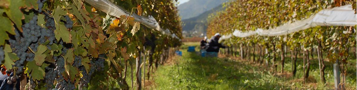 桔梗ヶ原のワイン用自社畑